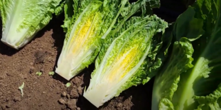 Salinas Lettuce Quality