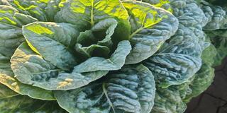 Lettuce Ice on Romaine