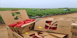 MFC Strawberries